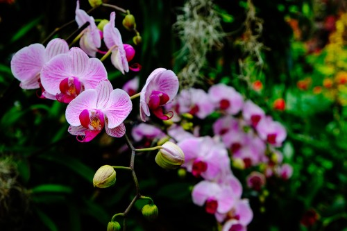 Orchids at Chicago Botanic Garden